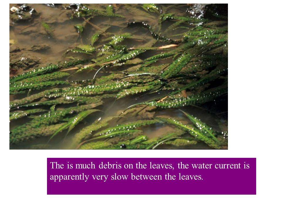 The is much debris on the leaves, the water current is apparently very slow between the leaves.