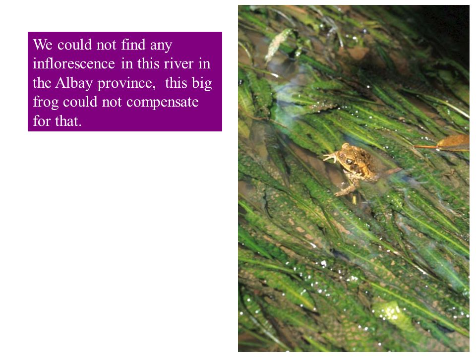 We could not find any inflorescence in this river in the Albay province, this big frog could not compensate for that.