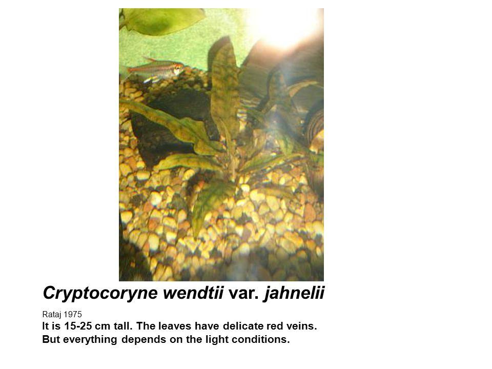 Cryptocoryne wendtii var. jahnelii