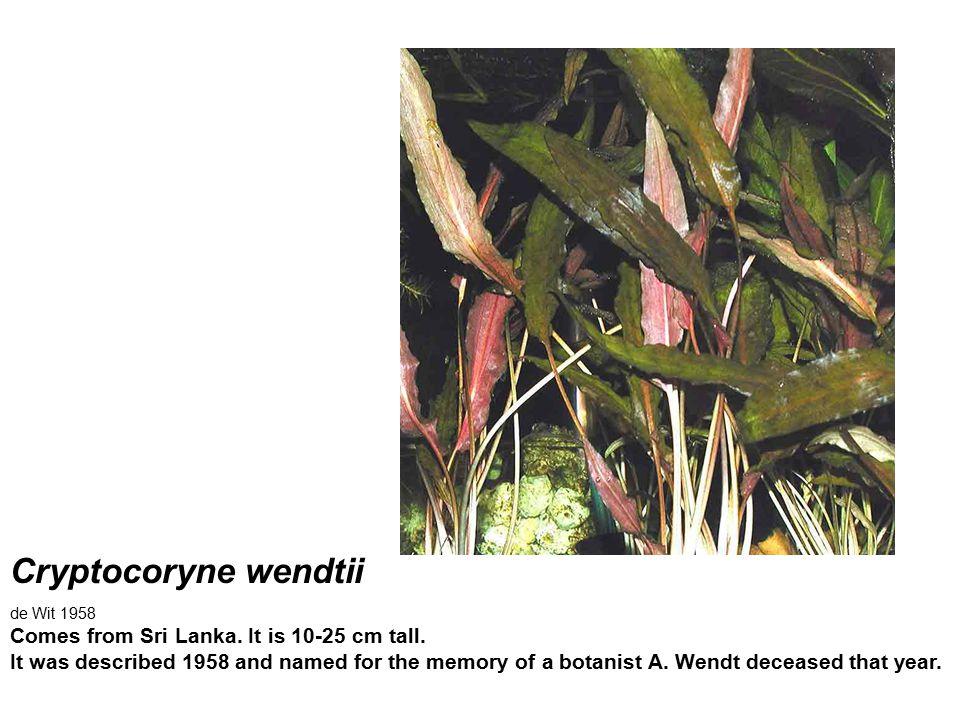 Cryptocoryne wendtii de Wit 1958.