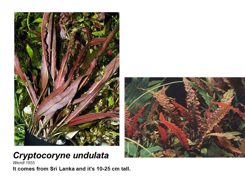 Cryptocoryne undulata