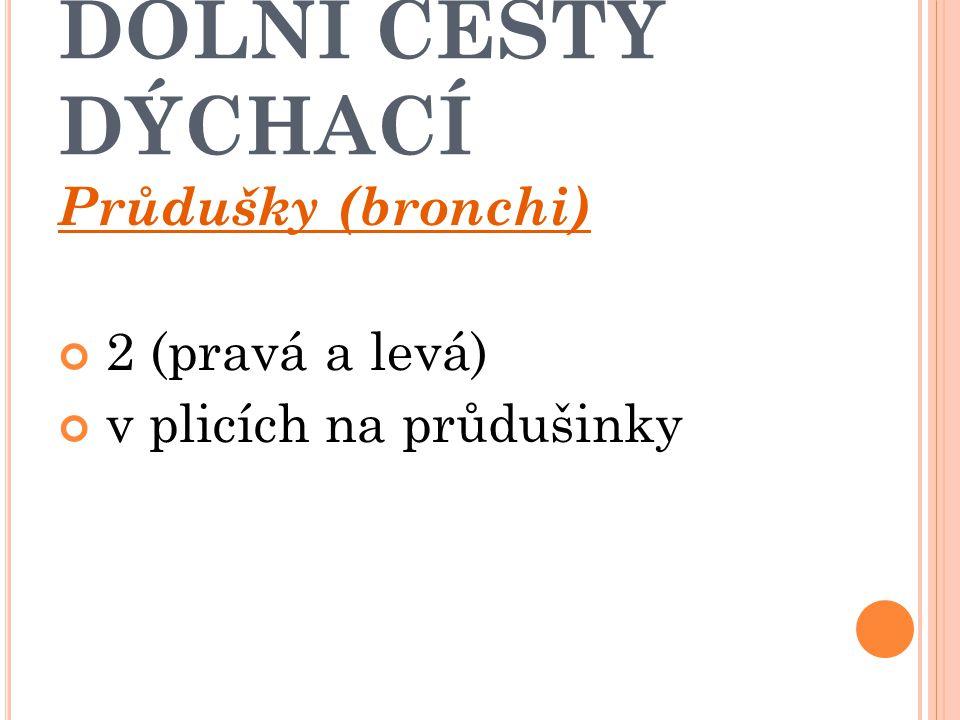 DOLNÍ CESTY DÝCHACÍ Průdušky (bronchi) 2 (pravá a levá)
