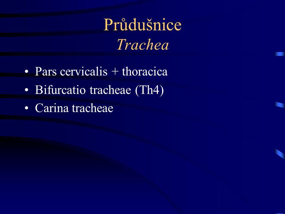 Průdušnice Trachea Pars cervicalis + thoracica