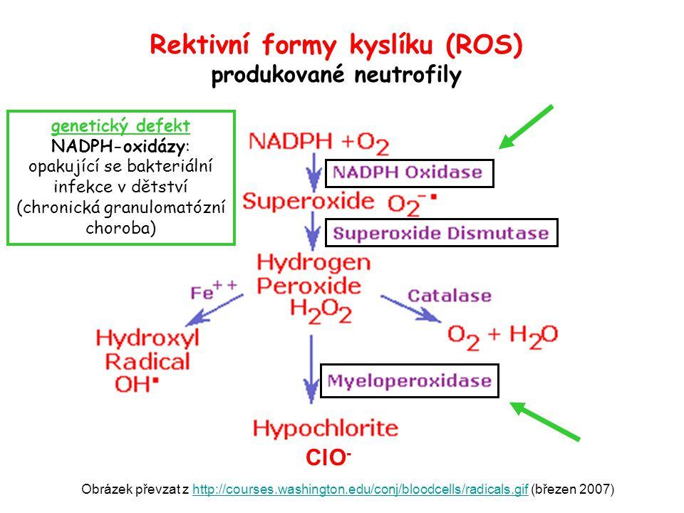 Rektivní formy kyslíku (ROS) produkované neutrofily