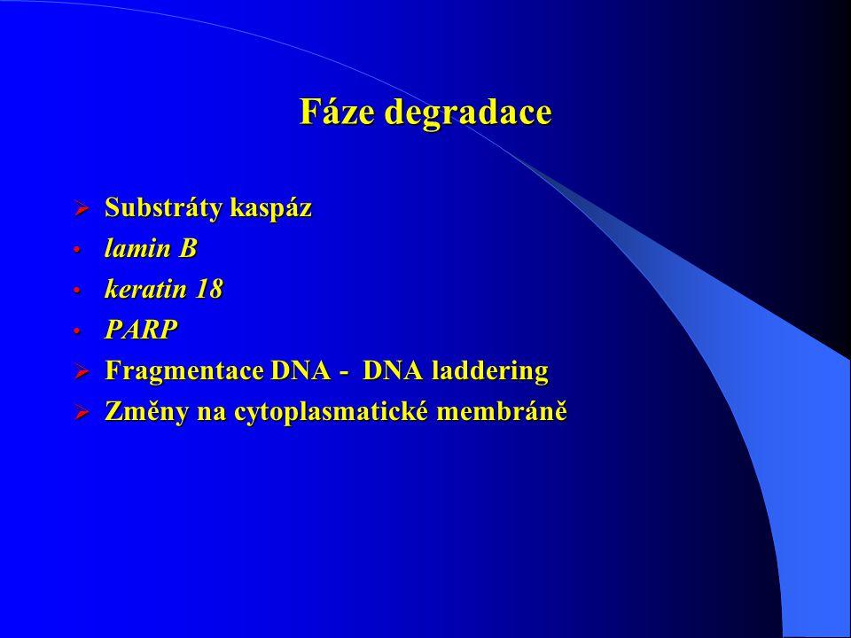 Fáze degradace Substráty kaspáz lamin B keratin 18 PARP