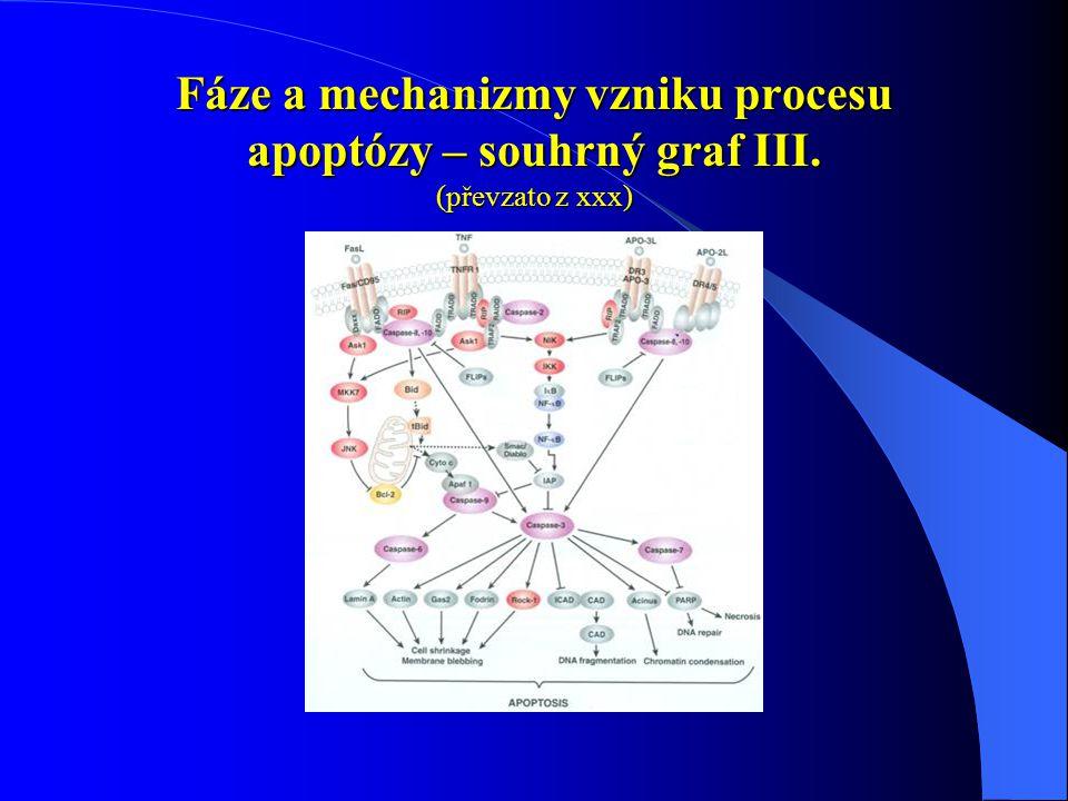 Fáze a mechanizmy vzniku procesu apoptózy – souhrný graf III