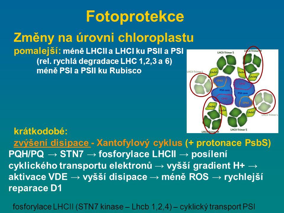 Fotoprotekce Změny na úrovni chloroplastu
