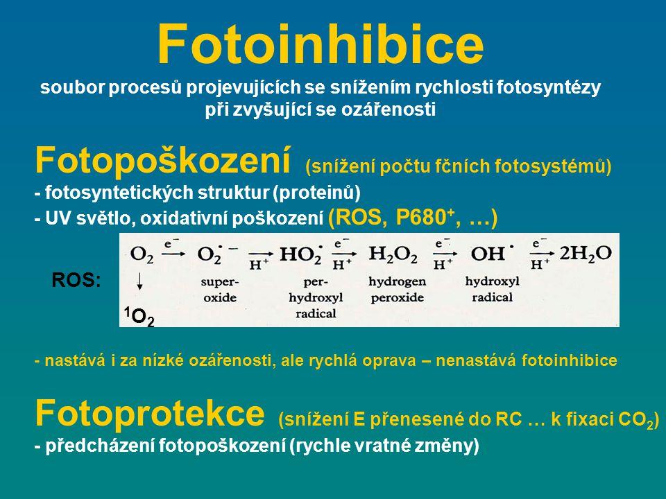 Fotoinhibice Fotopoškození (snížení počtu fčních fotosystémů)