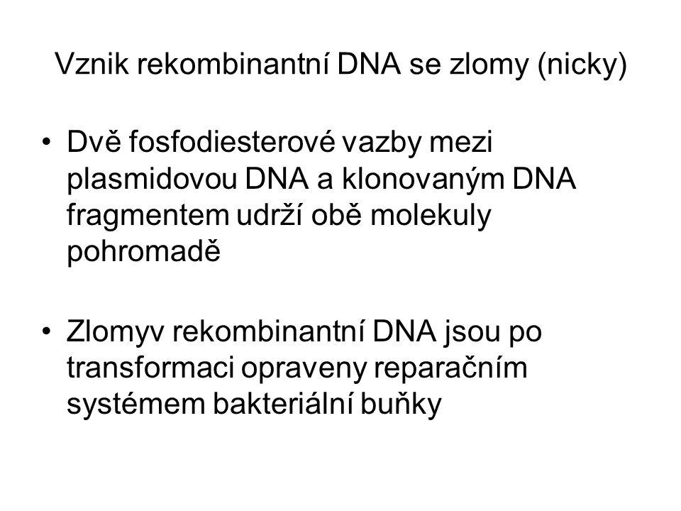 Vznik rekombinantní DNA se zlomy (nicky)