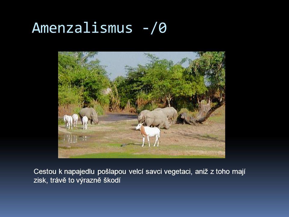 Amenzalismus -/0 Cestou k napajedlu pošlapou velcí savci vegetaci, aniž z toho mají zisk, trávě to výrazně škodí.