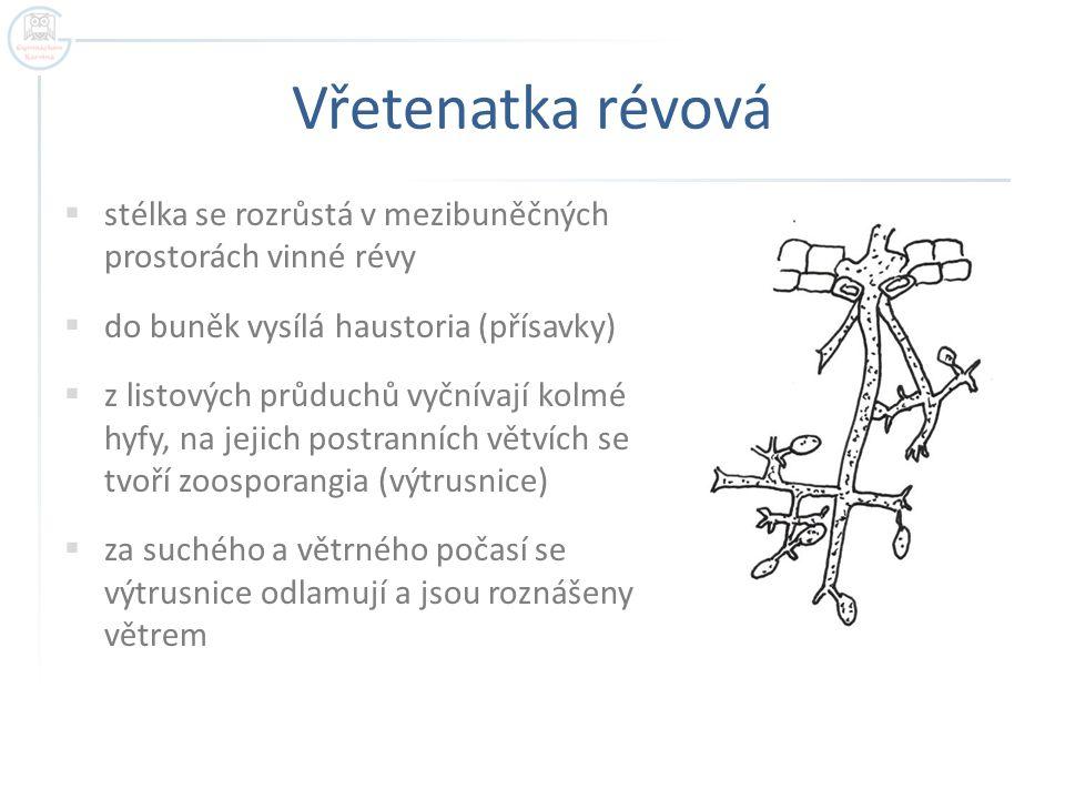 Vřetenatka révová stélka se rozrůstá v mezibuněčných prostorách vinné révy. do buněk vysílá haustoria (přísavky)