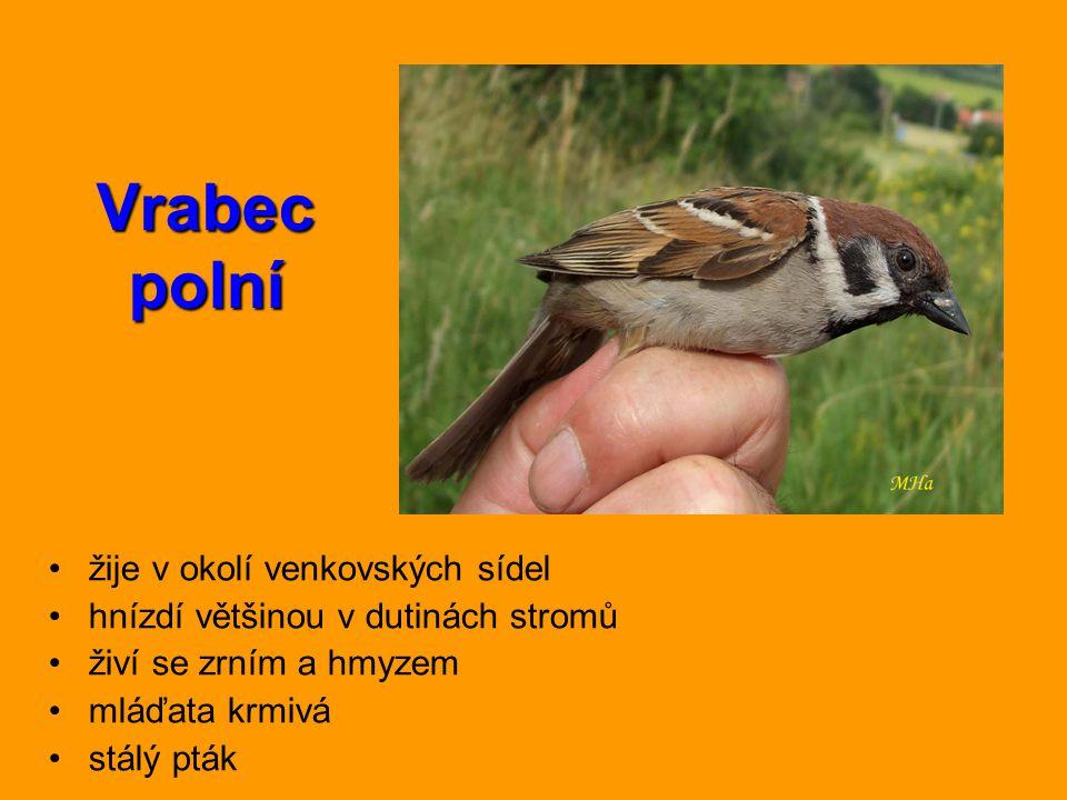 Vrabec polní žije v okolí venkovských sídel