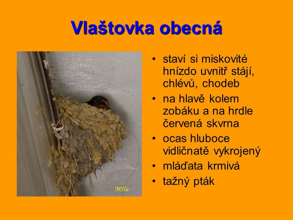 Vlaštovka obecná staví si miskovité hnízdo uvnitř stájí, chlévů, chodeb. na hlavě kolem zobáku a na hrdle červená skvrna.