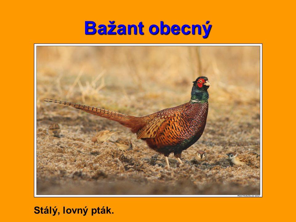 Bažant obecný Stálý, lovný pták.