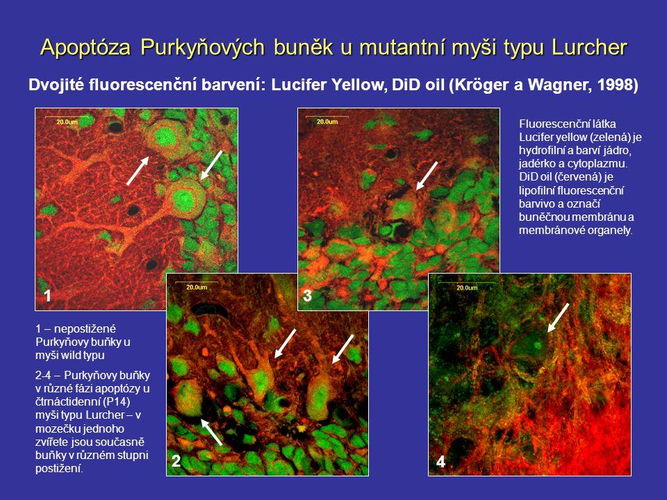 Apoptóza Purkyňových buněk u mutantní myši typu Lurcher