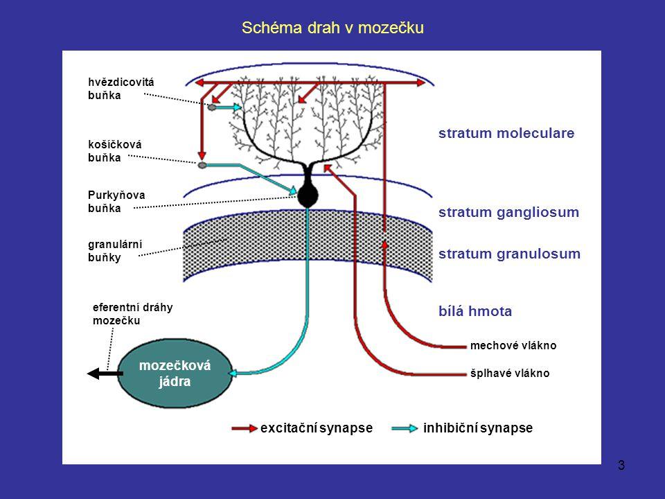 Schéma drah v mozečku stratum moleculare stratum gangliosum
