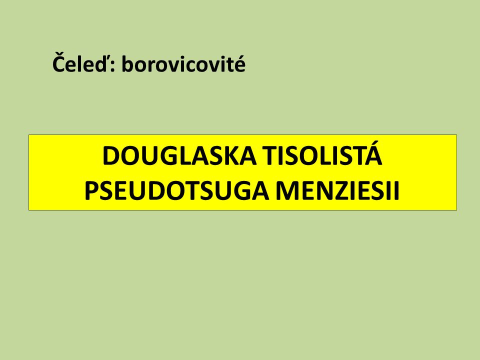 DOUGLASKA TISOLISTÁ PSEUDOTSUGA MENZIESII