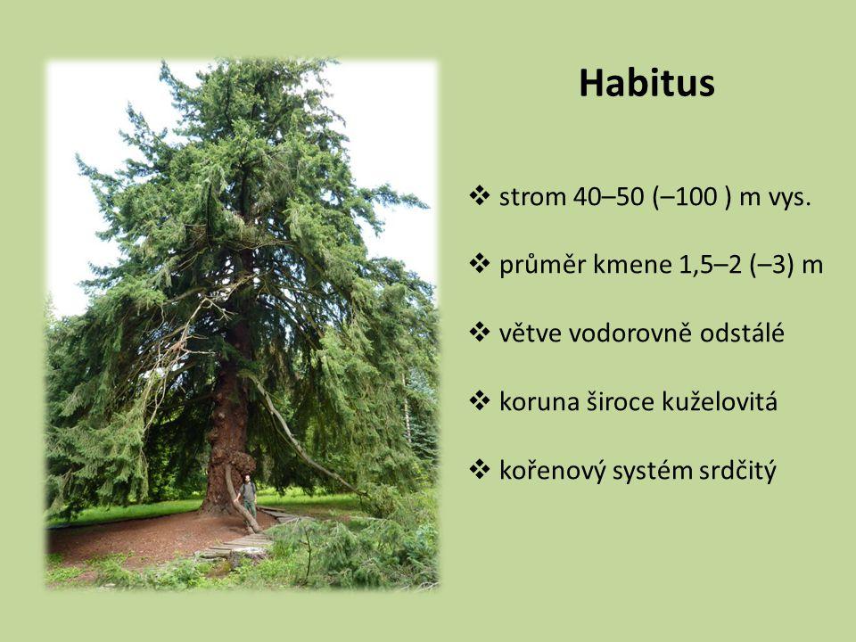 Habitus strom 40–50 (–100 ) m vys. průměr kmene 1,5–2 (–3) m