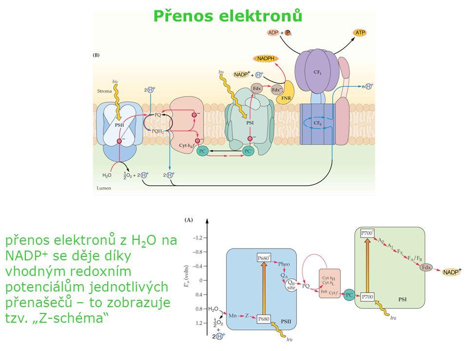 Přenos elektronů přenos elektronů z H2O na NADP+ se děje díky vhodným redoxním potenciálům jednotlivých přenašečů – to zobrazuje tzv.