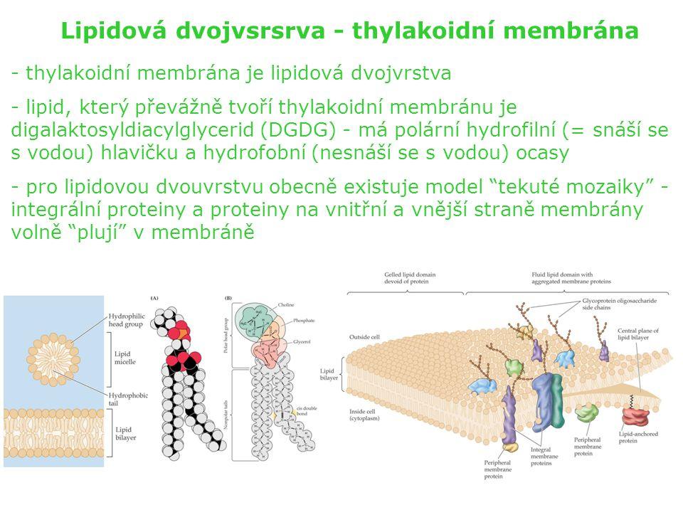 Lipidová dvojvsrsrva - thylakoidní membrána