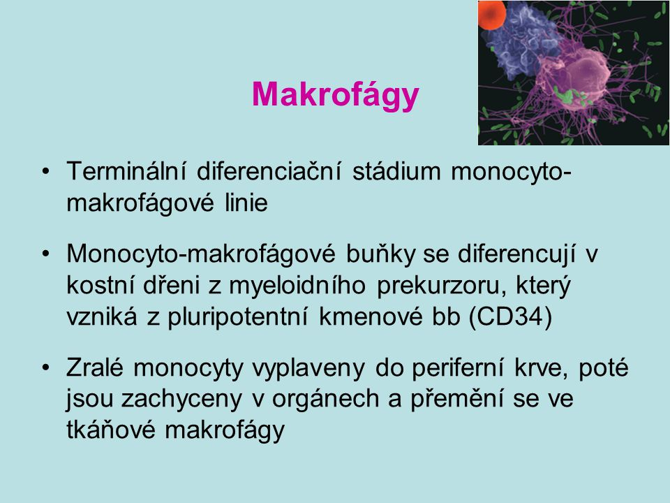 Makrofágy Terminální diferenciační stádium monocyto-makrofágové linie