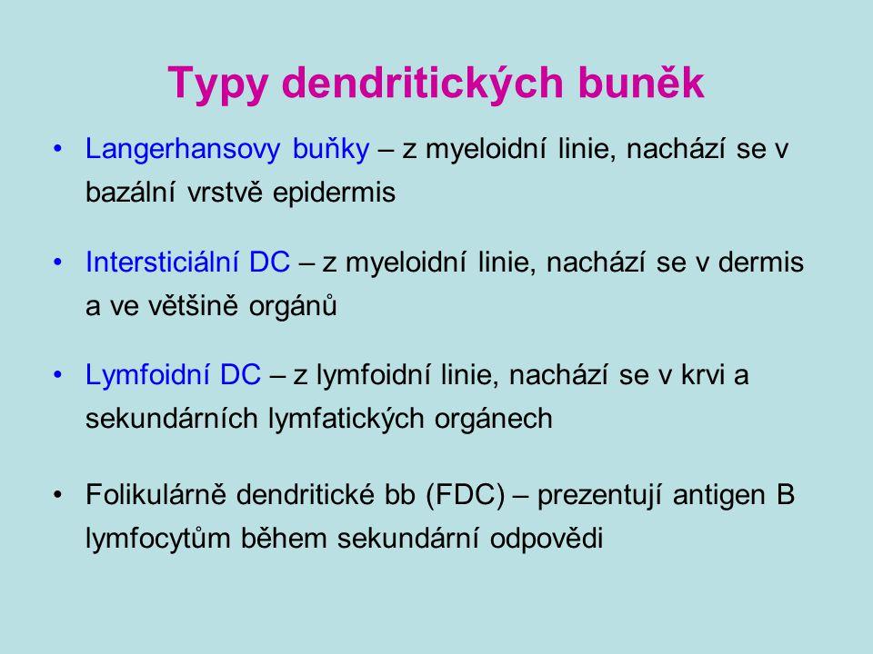 Typy dendritických buněk