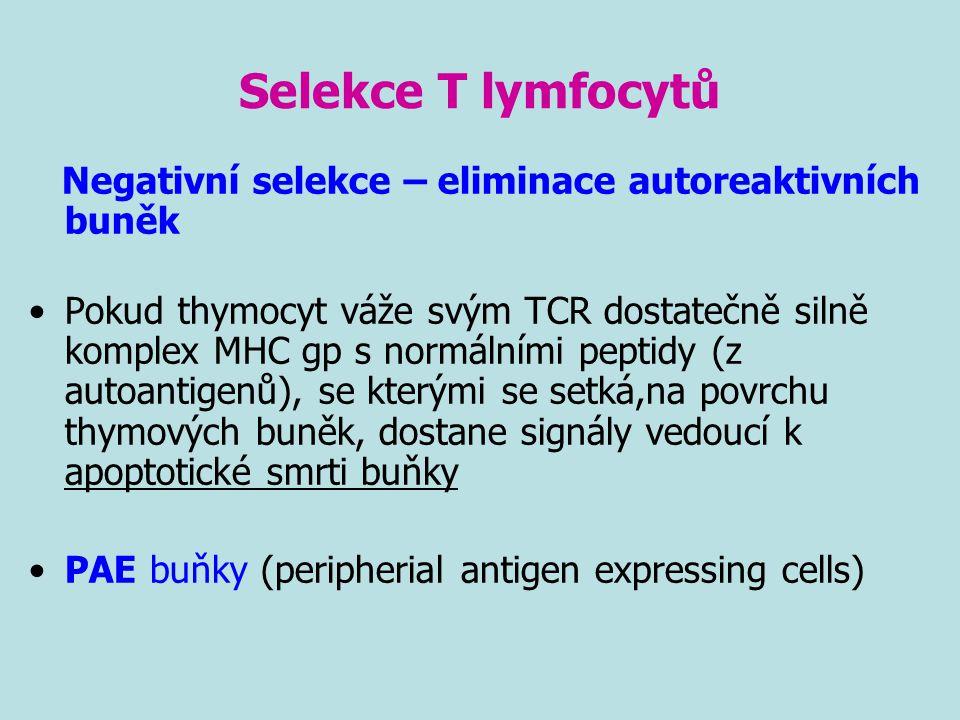 Selekce T lymfocytů Negativní selekce – eliminace autoreaktivních buněk.