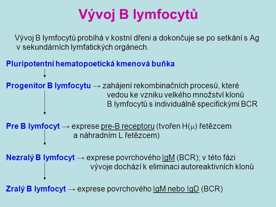 Vývoj B lymfocytů Vývoj B lymfocytů probíhá v kostní dřeni a dokončuje se po setkání s Ag v sekundárních lymfatických orgánech.