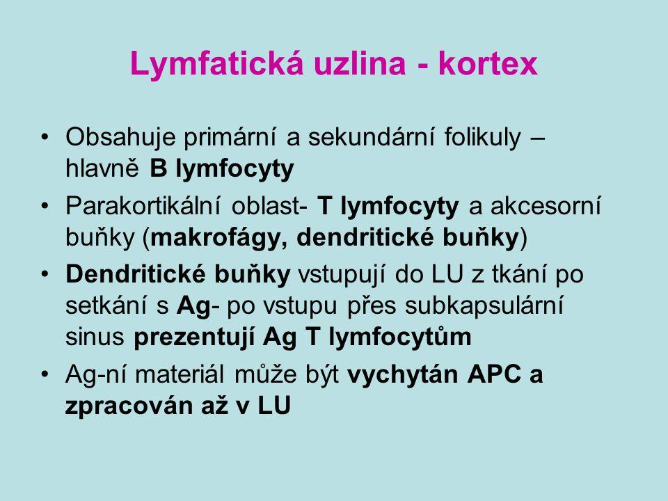 Lymfatická uzlina - kortex