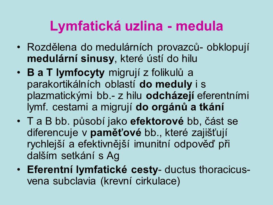 Lymfatická uzlina - medula