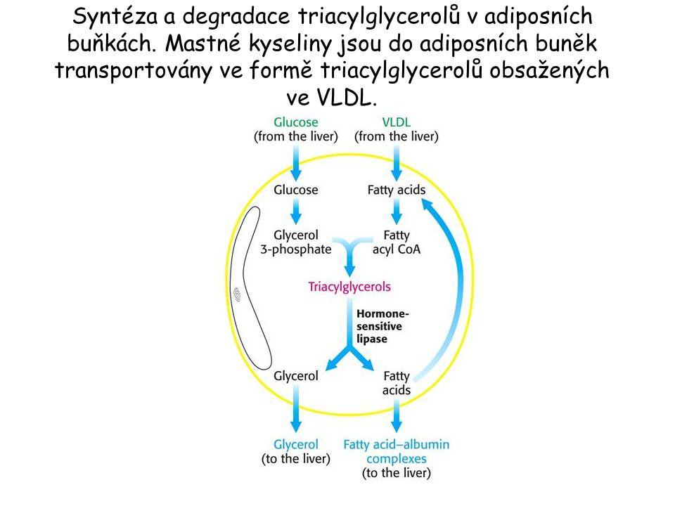 Syntéza a degradace triacylglycerolů v adiposních buňkách