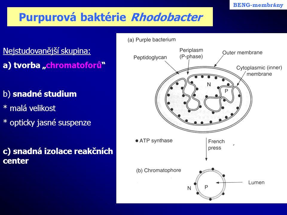 Purpurová baktérie Rhodobacter