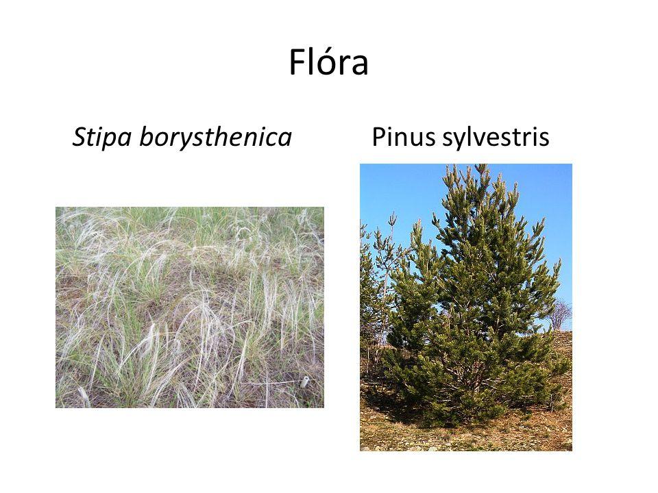 Flóra Stipa borysthenica Pinus sylvestris