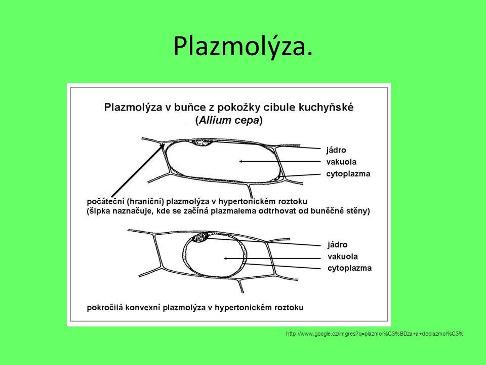Plazmolýza. http://www.google.cz/imgres q=plazmol%C3%BDza+a+deplazmol%C3%