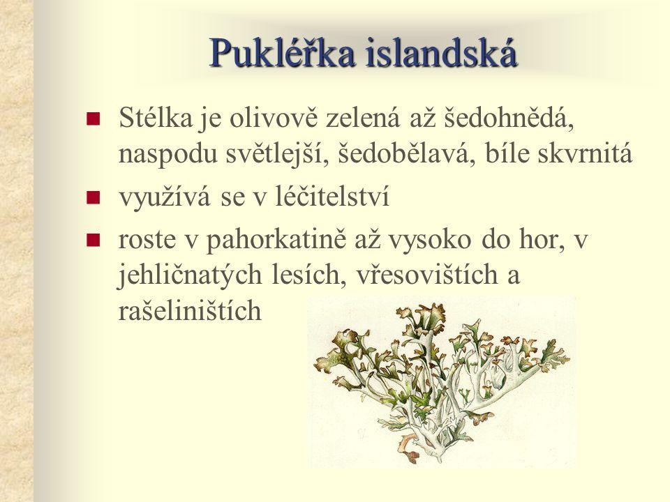 Pukléřka islandská Stélka je olivově zelená až šedohnědá, naspodu světlejší, šedobělavá, bíle skvrnitá.