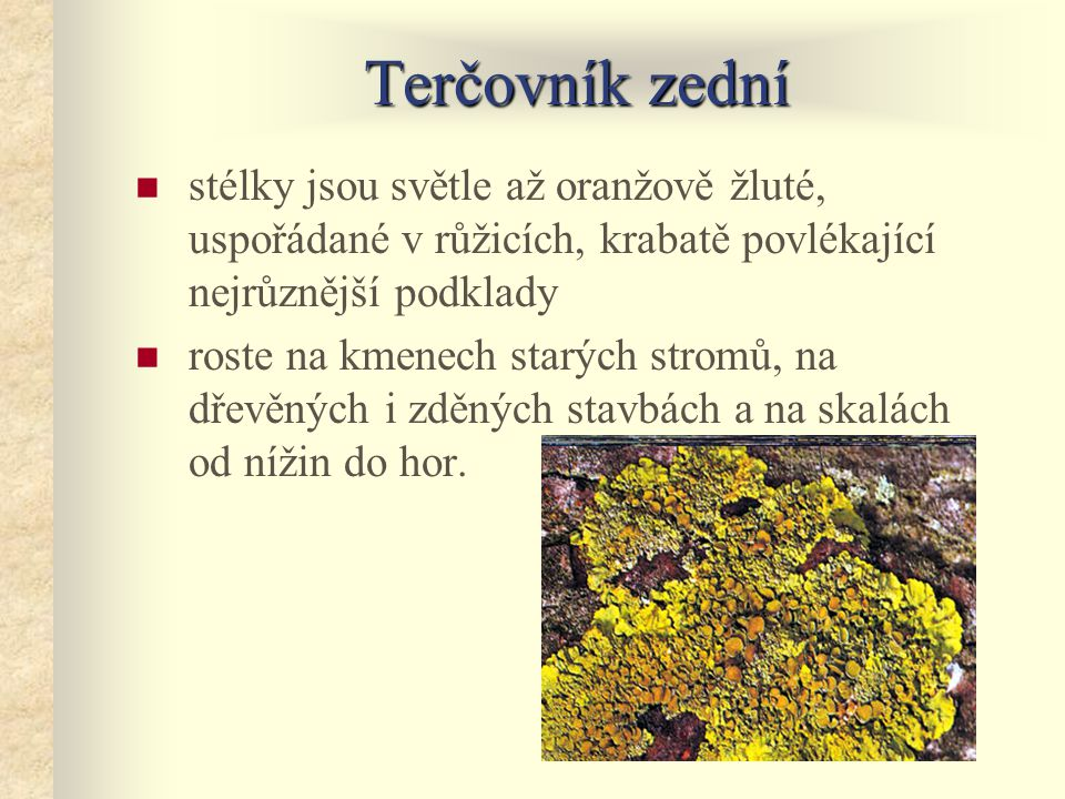 Terčovník zední stélky jsou světle až oranžově žluté, uspořádané v růžicích, krabatě povlékající nejrůznější podklady.