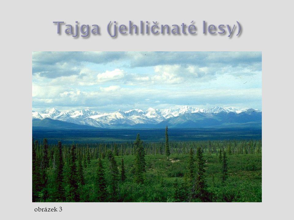 Tajga (jehličnaté lesy)