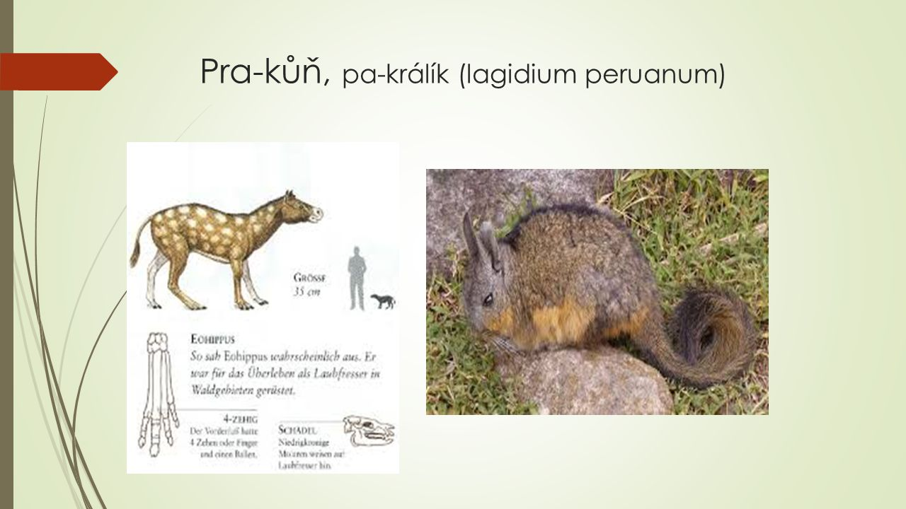 Pra-kůň, pa-králík (lagidium peruanum)