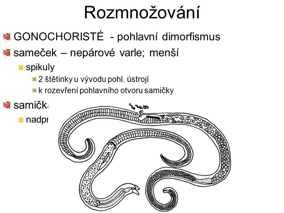 Rozmnožování GONOCHORISTÉ - pohlavní dimorfismus