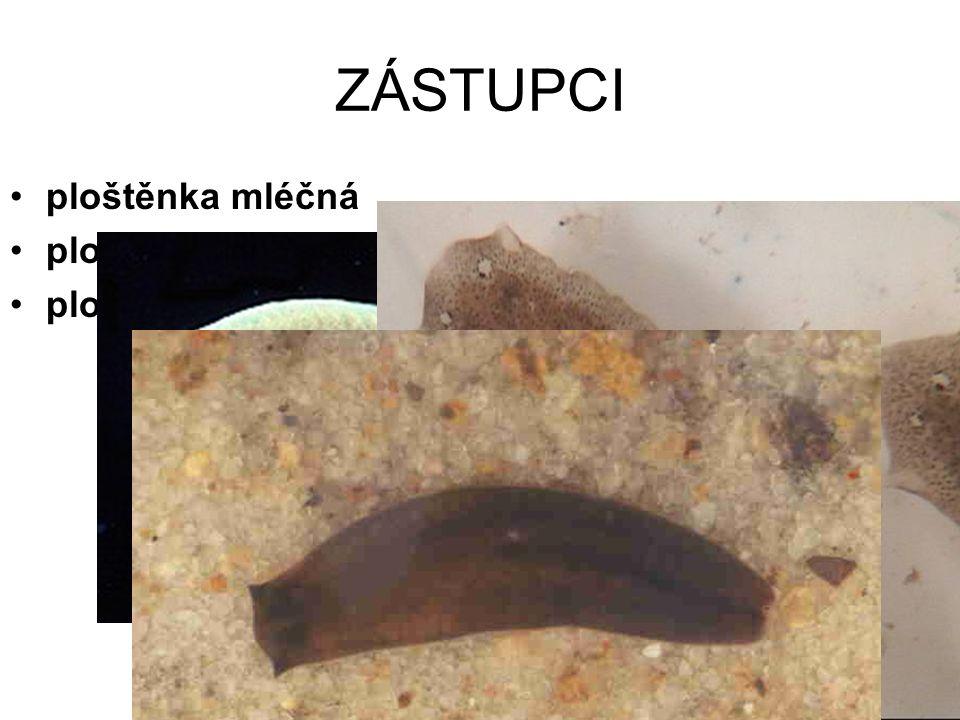 ZÁSTUPCI ploštěnka mléčná ploštěnka potoční ploštěnka černá