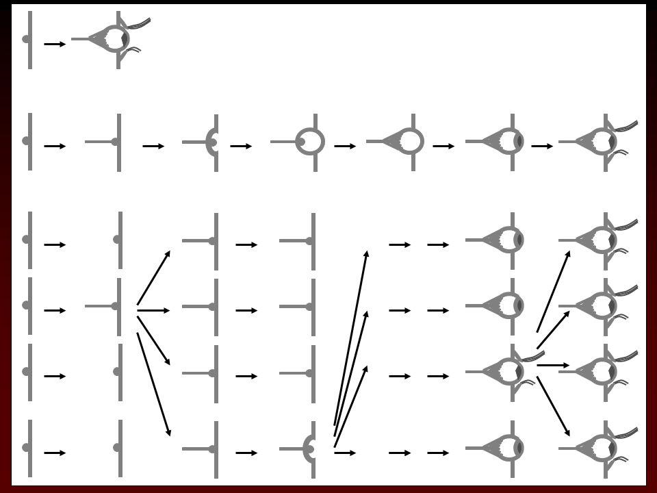 Evoluce složitého orgánu