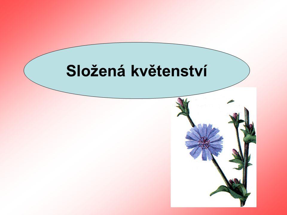 Složená květenství