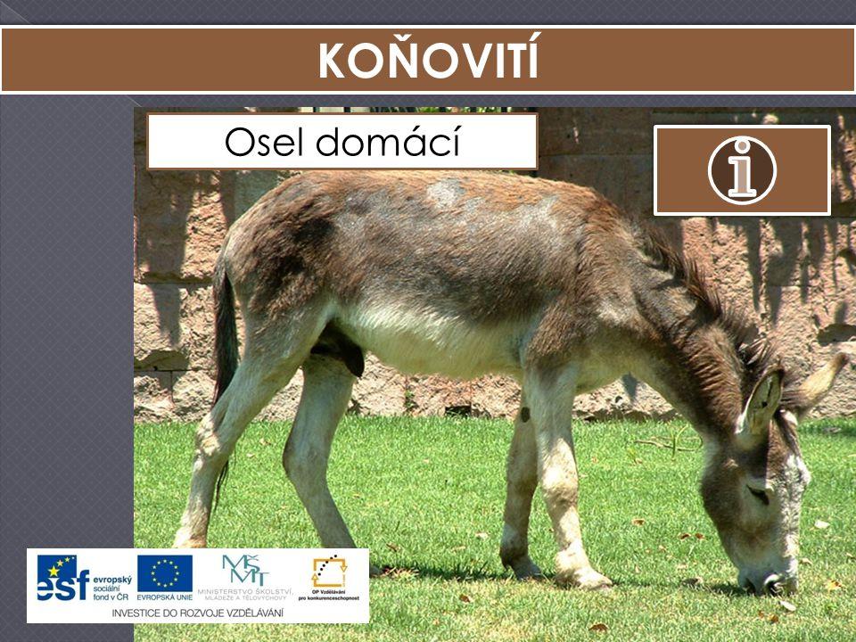 KOŇOVITÍ Osel domácí Kůň Převalského Zebra stepní Osel africký