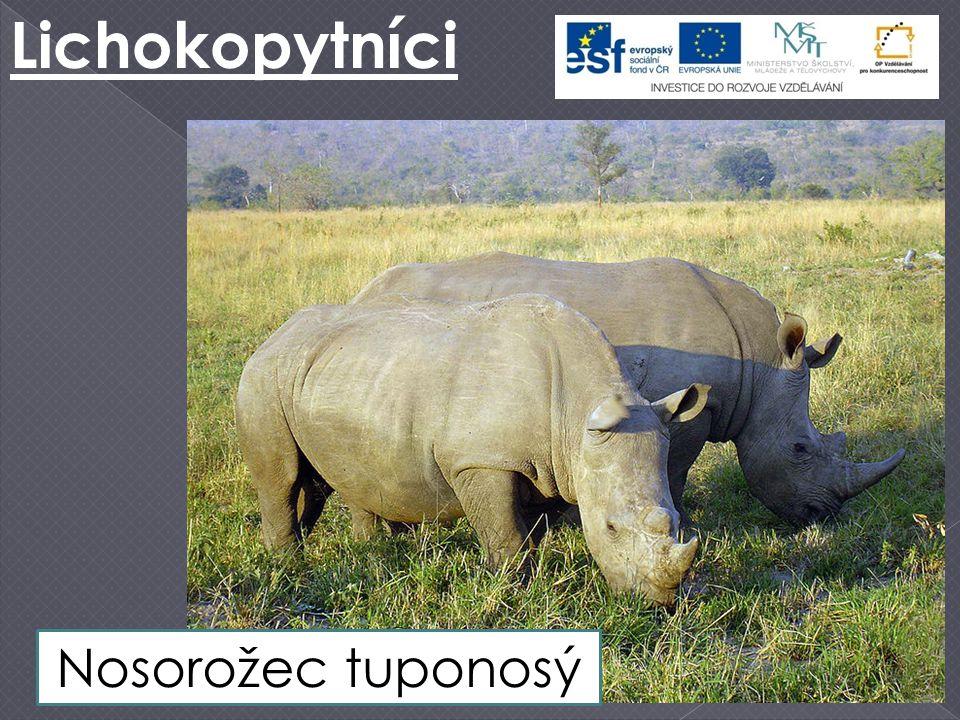 Lichokopytníci Nosorožec tuponosý
