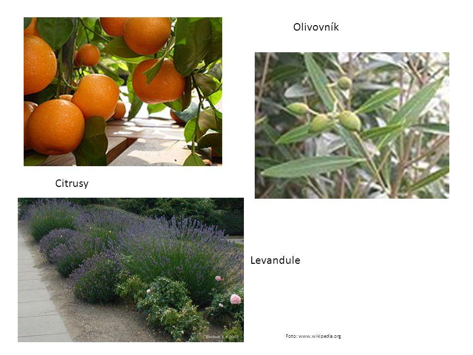 Olivovník Citrusy Levandule Foto: www.wikipedia.org