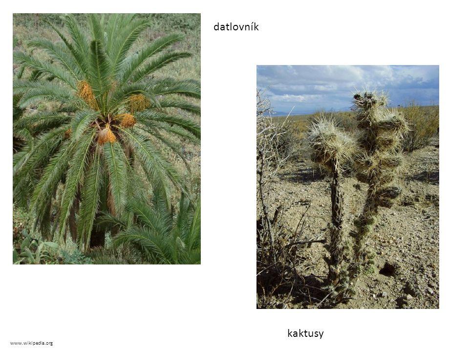 datlovník kaktusy www.wikipedia.org