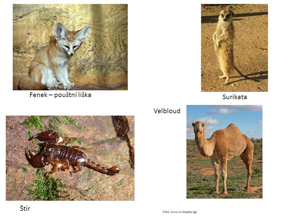 Fenek – pouštní liška Surikata Velbloud Štír Foto: www.wikipedia.ogr