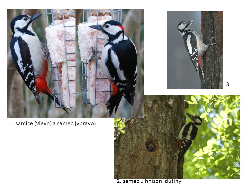 3. 1. samice (vlevo) a samec (vpravo) 2. samec u hnízdní dutiny