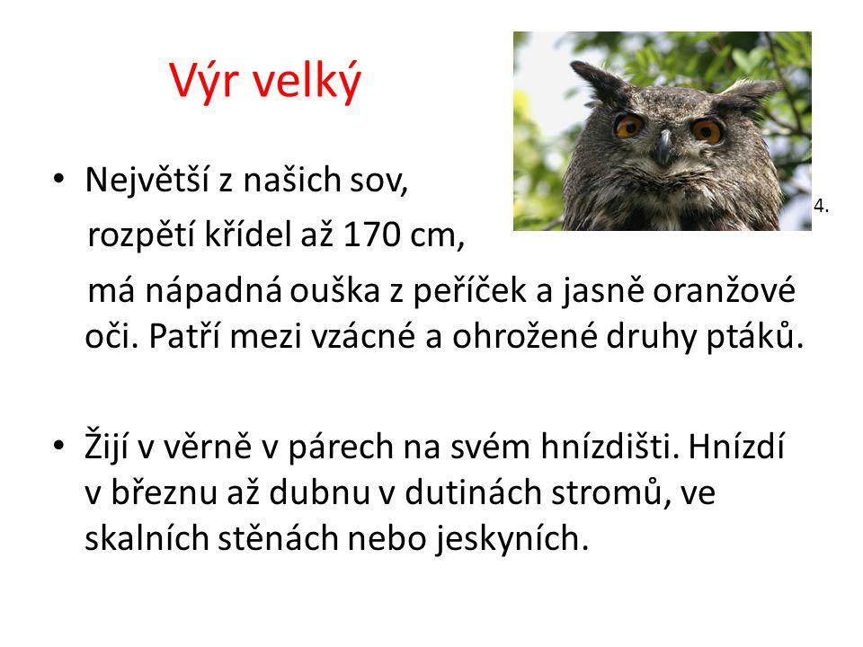 Výr velký Největší z našich sov, rozpětí křídel až 170 cm,