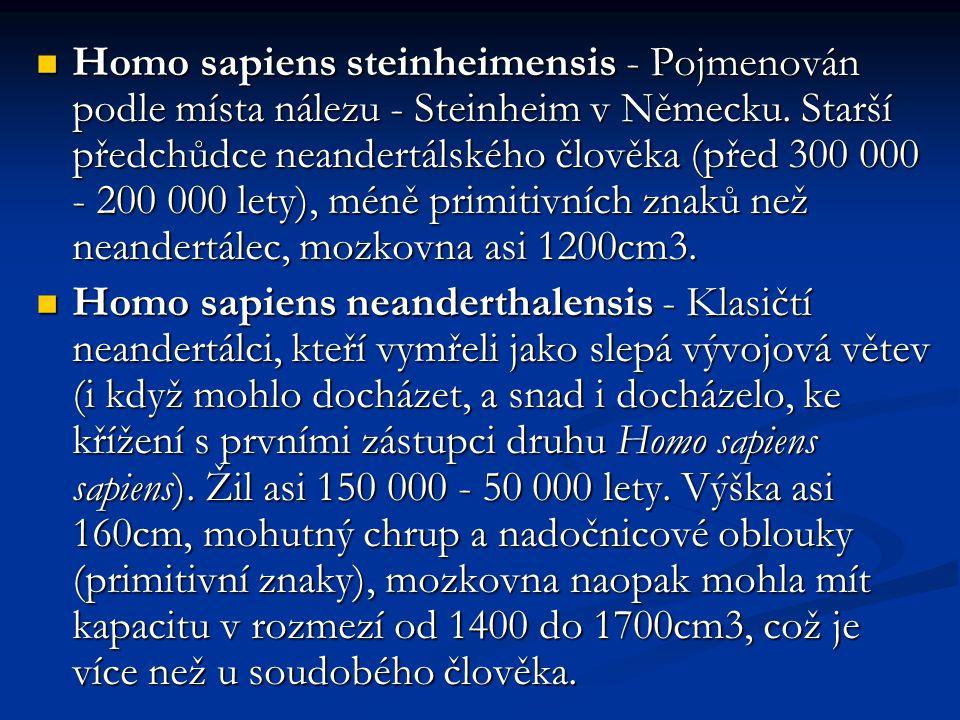 Homo sapiens steinheimensis - Pojmenován podle místa nálezu - Steinheim v Německu. Starší předchůdce neandertálského člověka (před 300 000 - 200 000 lety), méně primitivních znaků než neandertálec, mozkovna asi 1200cm3.